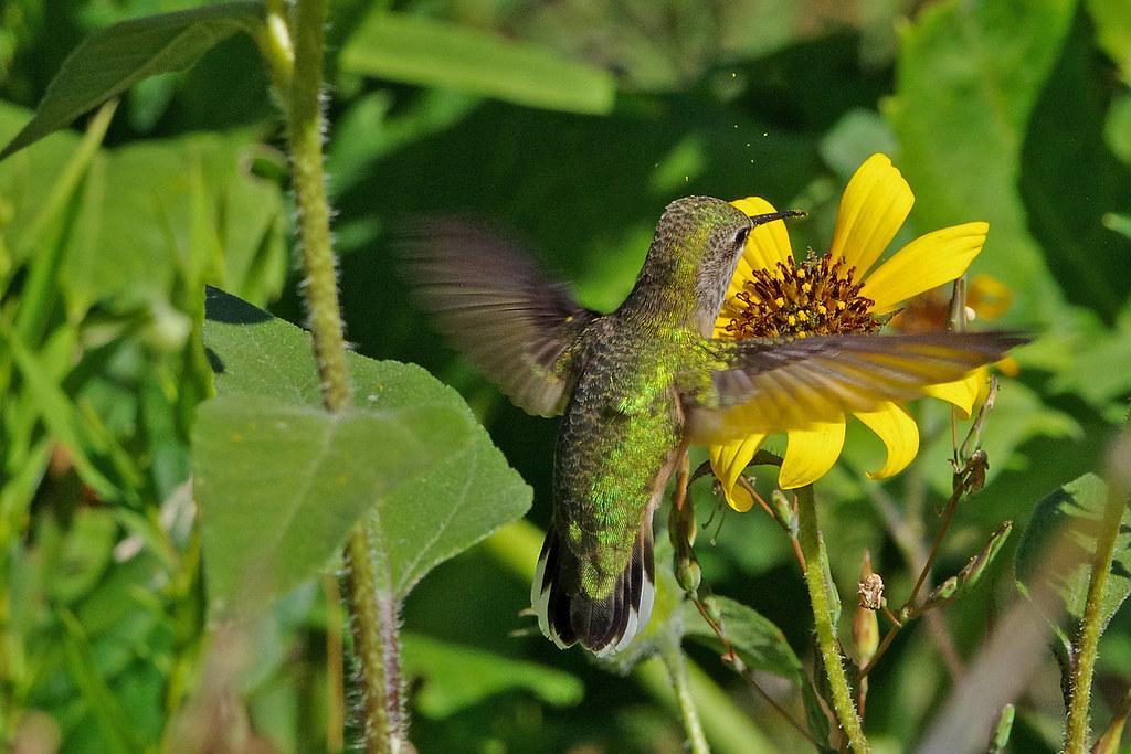 Calliope Hummingbird (Selasphorus calliope). Sandia Mountains, New Mexico, USA.