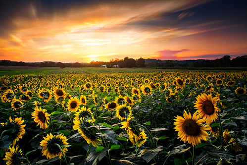 2020 afternoon august connecticut connecticutphotographer d750 evening landscape landscapephotographer larryaugurfarm naturephotographer nikon summer sunflowers sunset digital cornwallbridge unitedstates