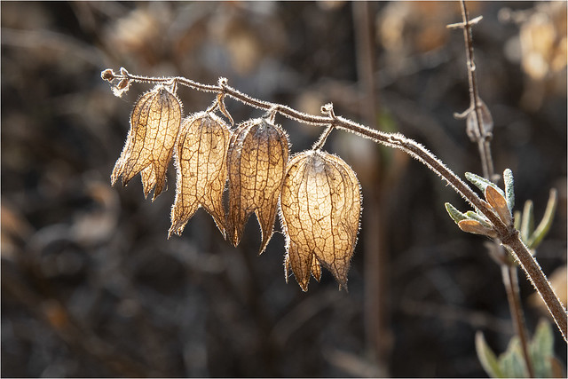 Lepechinia calycina, Pitcher-sage
