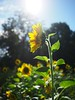 Sunflower and bee in the sunlight | September 2, 2020 | Molfsee - Schleswig-Holstein - Germany