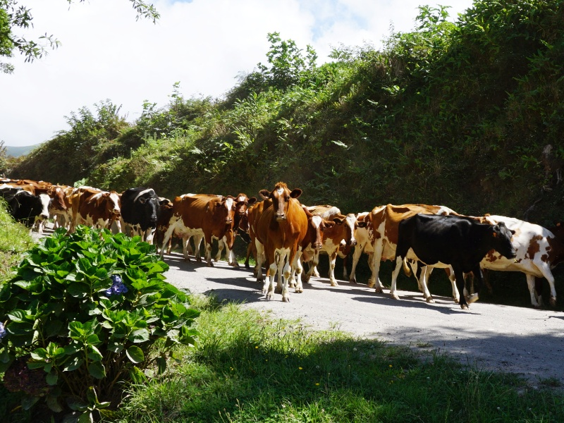 Azorean cows