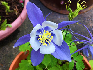 Blue Columbine - 2 | by 77ahavah77