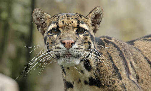 clouded leopard ouwehand BB2A0076