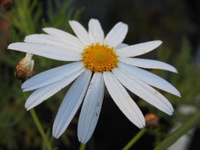 Daisy and Dew Drops