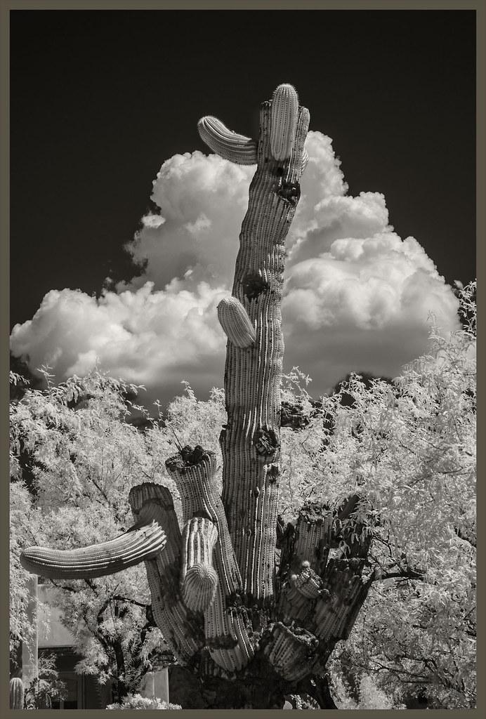 Cacti IR #1 2020; Broken Saguaro