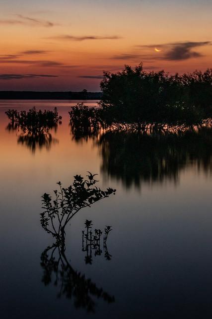 Buttonbush tree at sunrise