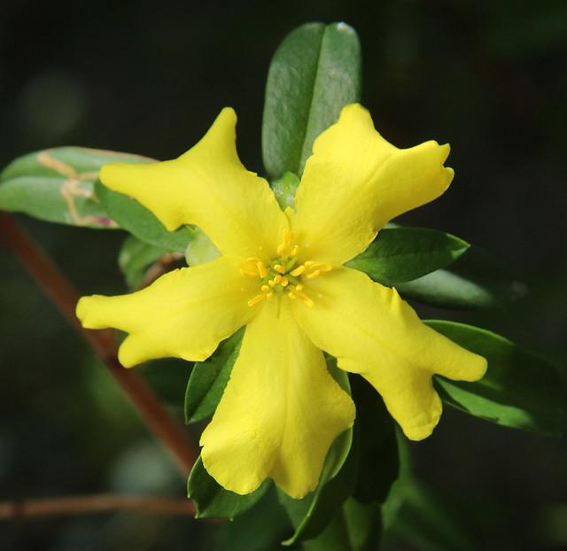 Cut-leaf Hibbertia