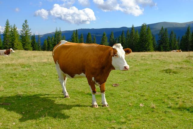 VCSE - Hús- és tejforrás ez a barátságos élőlény- Fotó Ágoston Zsolt