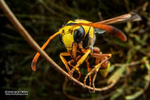 Mud wasp (Delta esuriens) - DSC_6115
