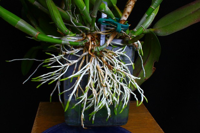 The roots of a Cattleya.