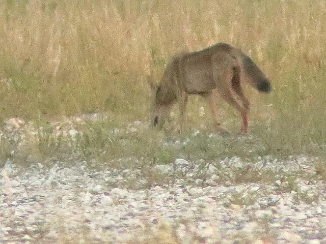 Coyote prob male 02-20200903