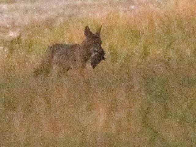 Coyote with prey or cub 01-20200903