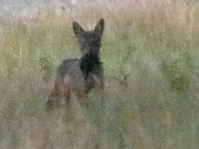 Coyote with prey or cub 02-20200903
