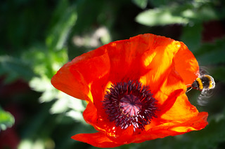 Poppy and Bee Brockwell Rose Garden