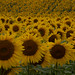 sunflowers from sunnybs 2020_08_30-3