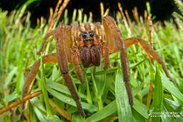 Wolf spider (Lycosa vittata) - DSC_6026