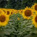 sunflowers from sunnybs 2020_08_30-4