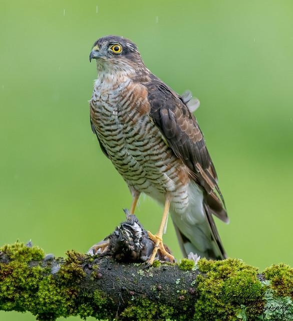 DSC8226  Sparrowhawk...