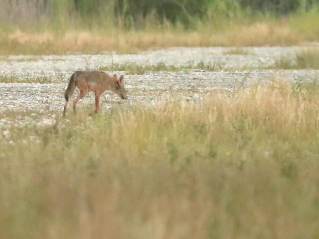 Coyote prob female 06-20200903