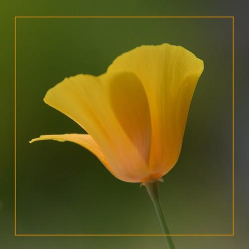 album5 blüten blütenprächtiges blumen deutschland dzsmd515 flickr gelb leverkusen naturalbeauty neilyoung nikond5300 noroses palette palettenbett pflanze pflanzenleben quadrat schaumada tamron18400 wiesdorf