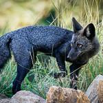 Silver Fox - Colorado