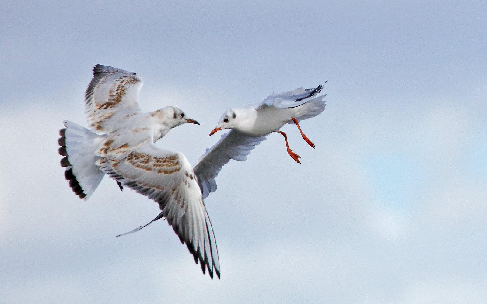 Black-headed Gull - Juvenile & Adult winter