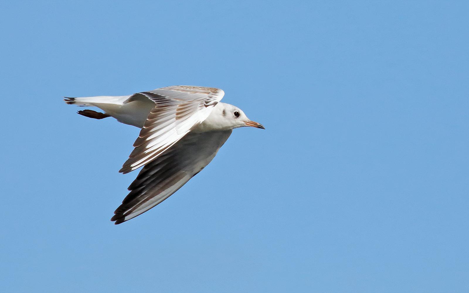 Black-headed Gull - Juvenile
