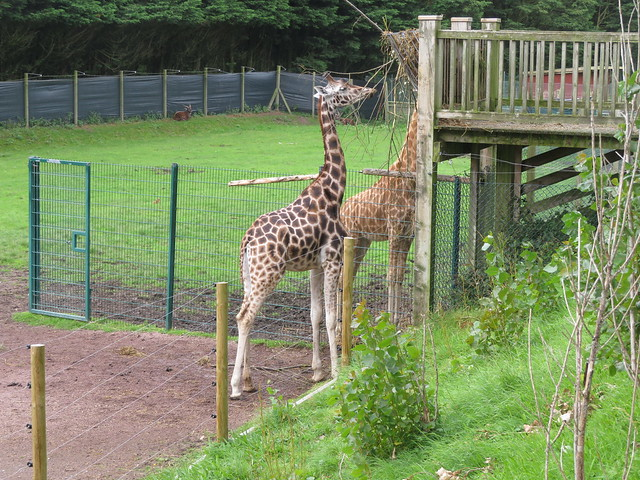 Blackpool Zoo Giraffe