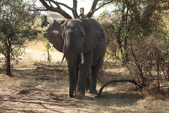 Savanna elephant, Ruaha National Park, Tanzania
