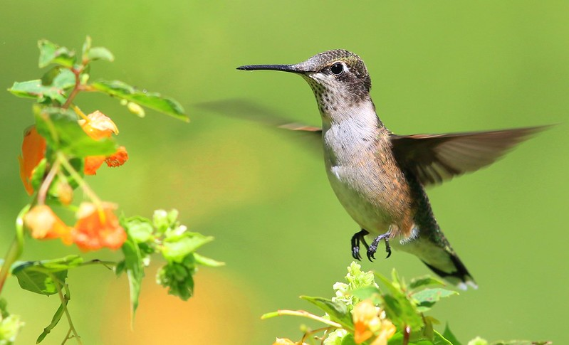 ruby-throated hummingbird female at spotted touch-me-not (Impatiens capensis) at Chipera Prairie IA 653A3674
