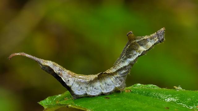 Rose Hooktip Caterpillar