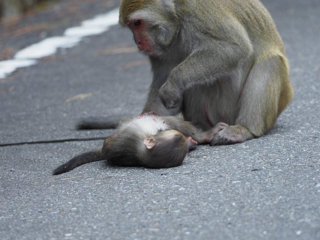 8月21日石山停車場至界碑群獼猴路殺照片。照片來源:玉管處