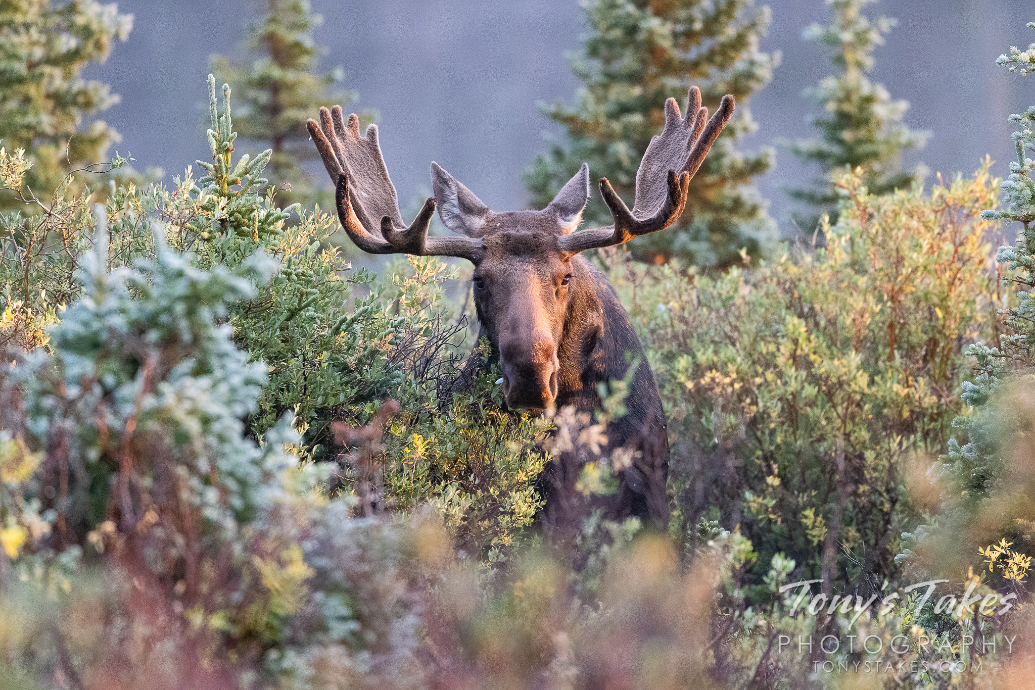 Moose bull grazing in the early morning light
