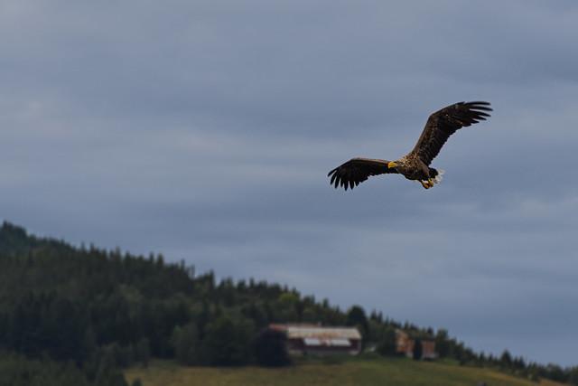Seeadler am Todalsfjord