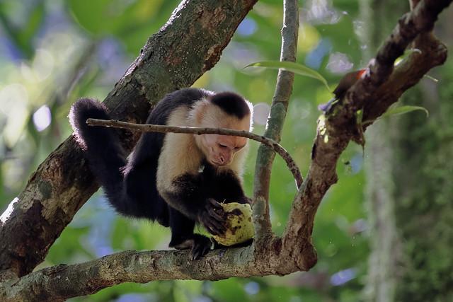 Белоголовый капуцин, Cebus imitator, Panamanian white-faced capuchin