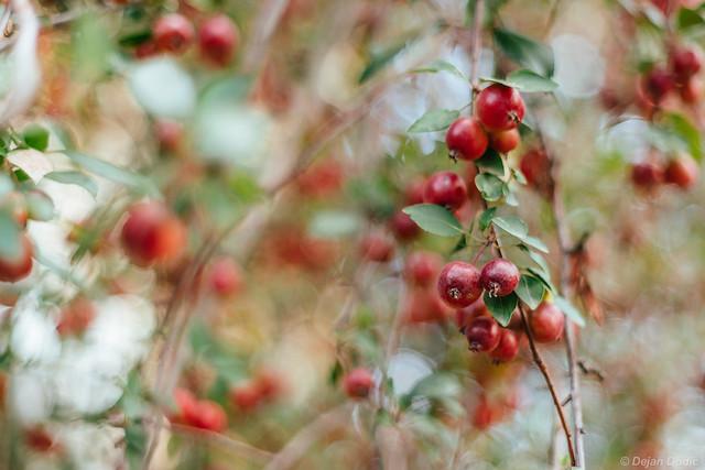Prunus bokehis