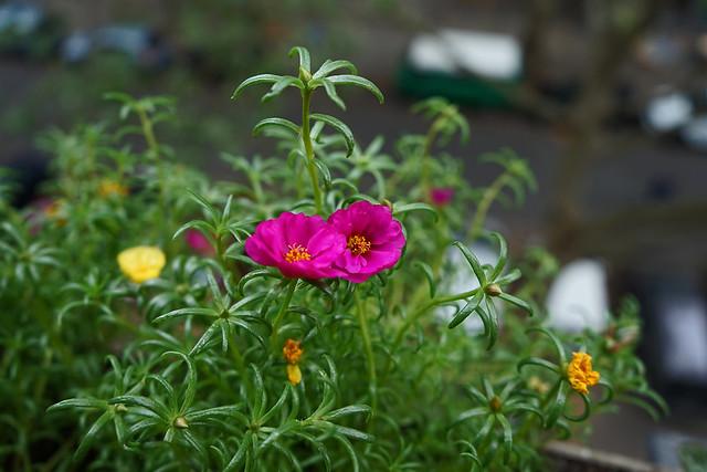 Nahaufnahme von zwei pinkfarbenen Blüten eines Portulakröschens