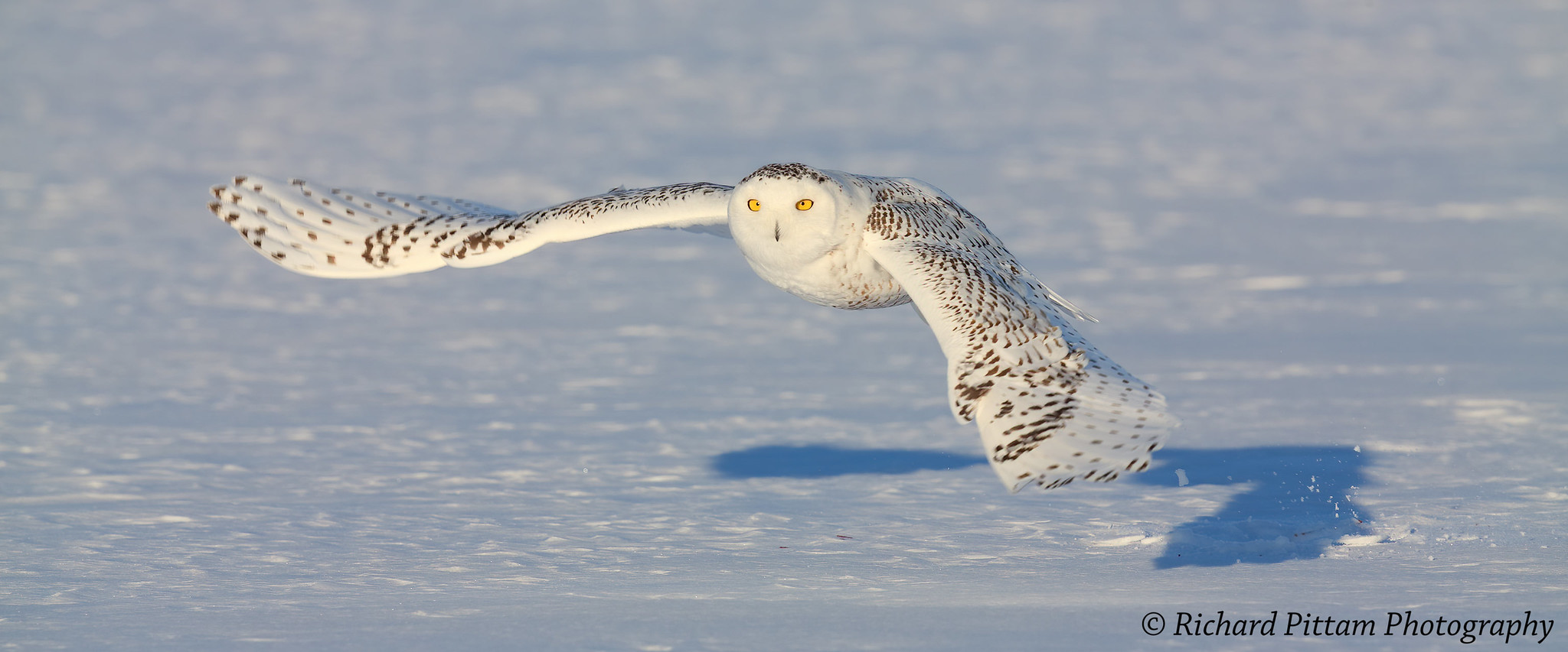 2014 shots re-processed - Snowy Owl, Ottawa