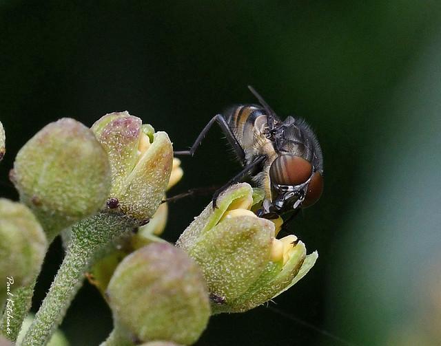 Stomorhina lunata (Locust Blowfly) male
