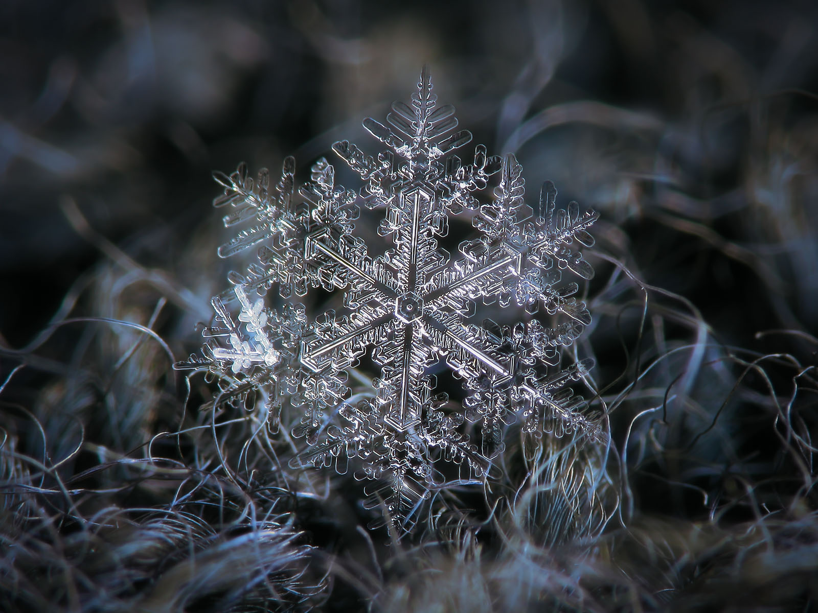 Real snowflake: large stellar dendrite with difference between inner and outer structure, glowing on dark background