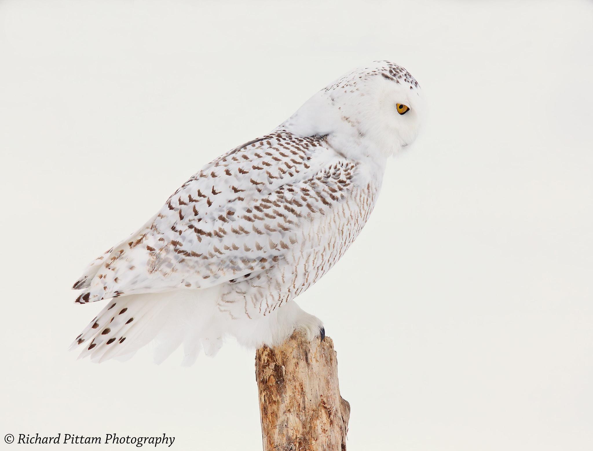 2014 shots re-processed - Snowy Owl, Ottawa