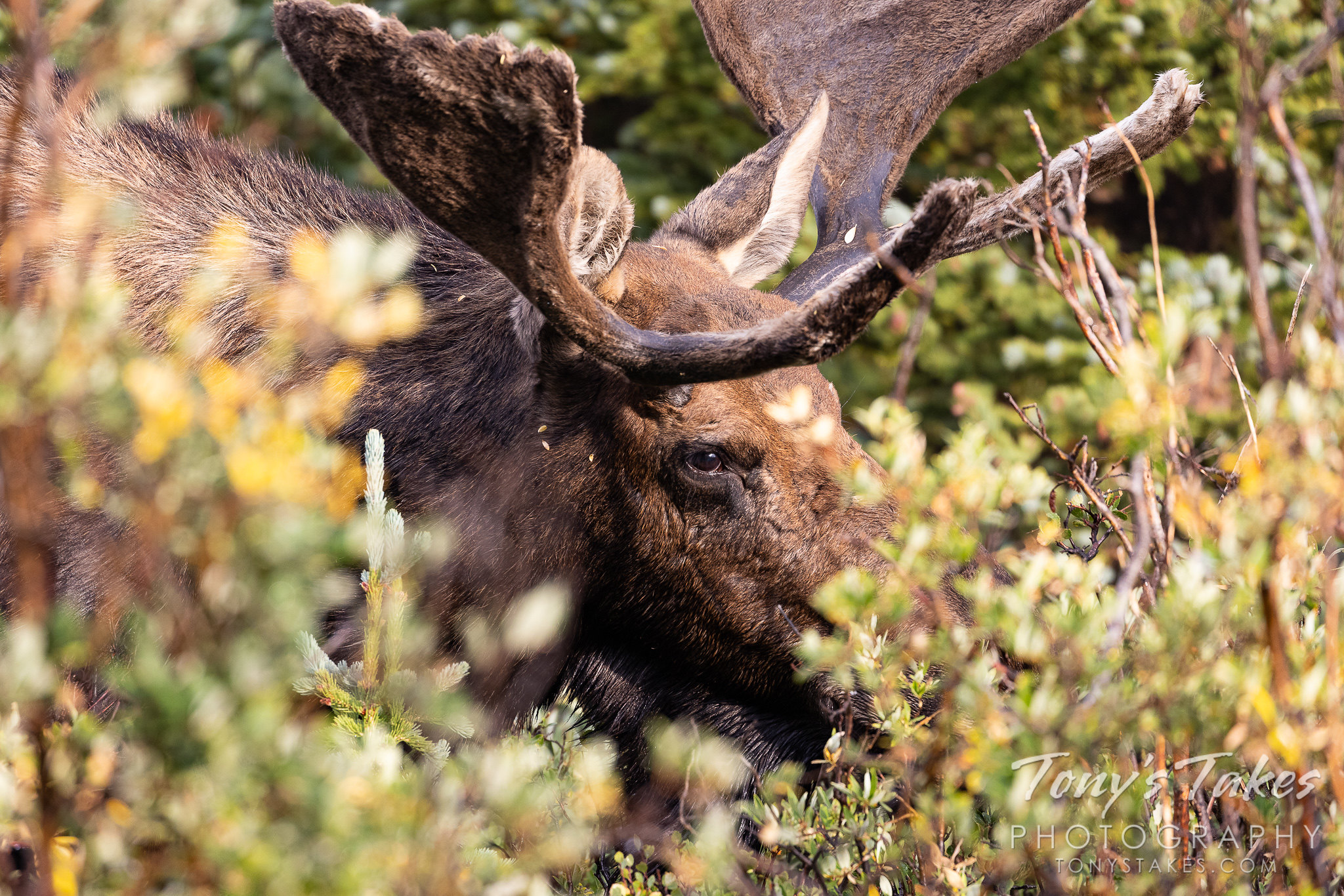 Moose bull through the bushes