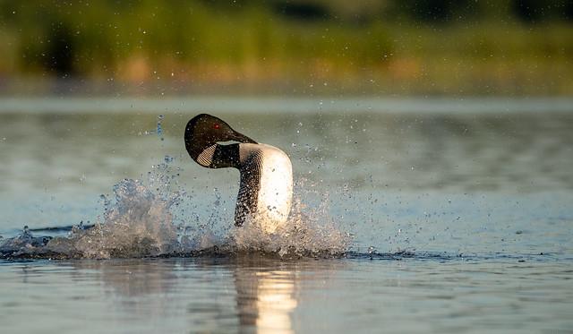 Common Loon Water Dance