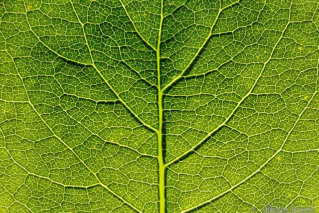 The tree in the leaf - L'arbre dans la feuille