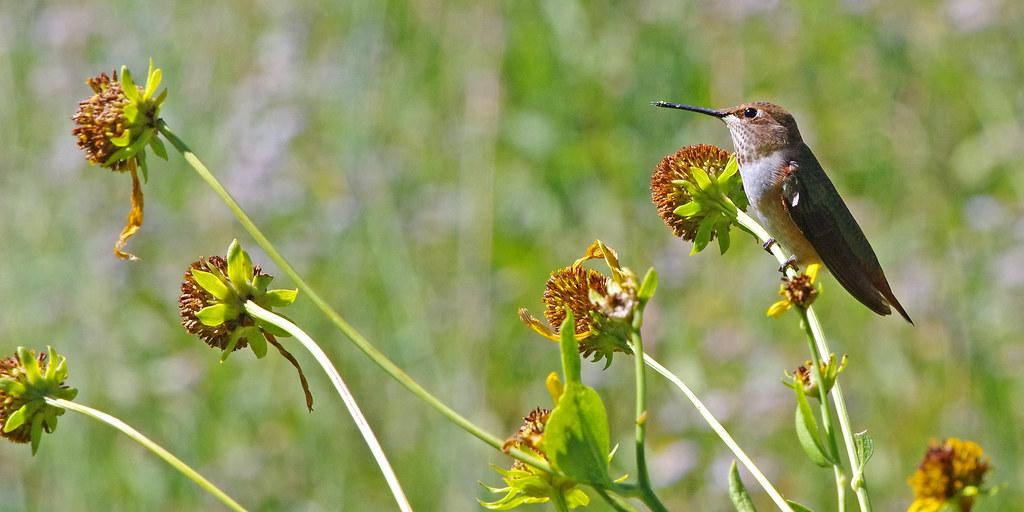 Rufous Hummingbird (Selasphorus rufus). Sandia Mountains, New Mexico, USA.