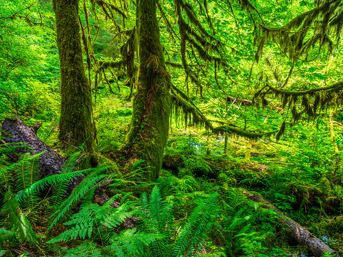 Olympic National Park Hoh Rain Forest Hall of Mosses, Ferns & Spruce Trees Fuji GFX100 Fine Art Landscape Nature Photography! Epic Washington State Summer Wilderness Art! Elliot McGucken 45EPIC Master Medium Format Fujifilm GFX 100 & Fuji Fujinon GF Lens!