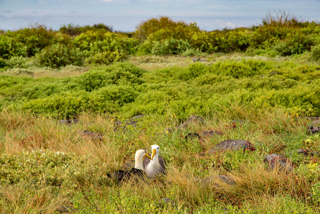 Armchair Traveling - Albatrosses Nesting on Espanola Island, The Galapagos