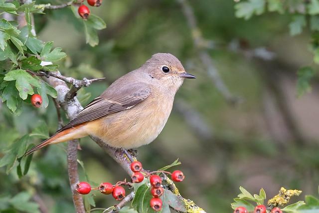 Common Redstart (Phoenicurus phoenicurus) - female type
