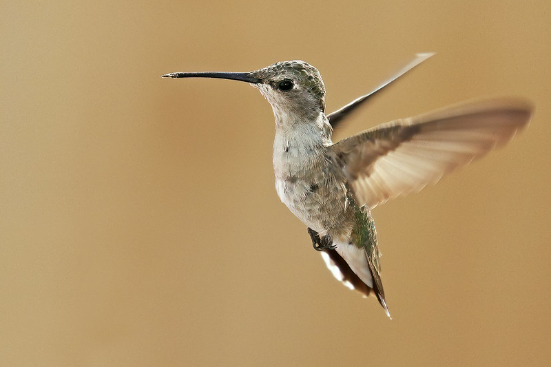 Black-chinned-Hummer-1-7D2-082220
