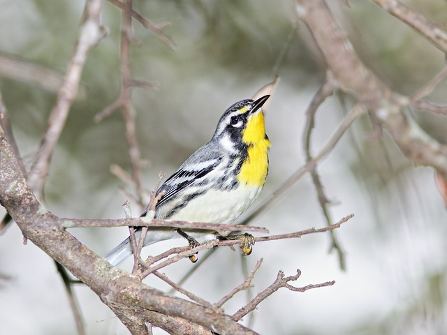 Yellow-throated Warbler 01-20200904